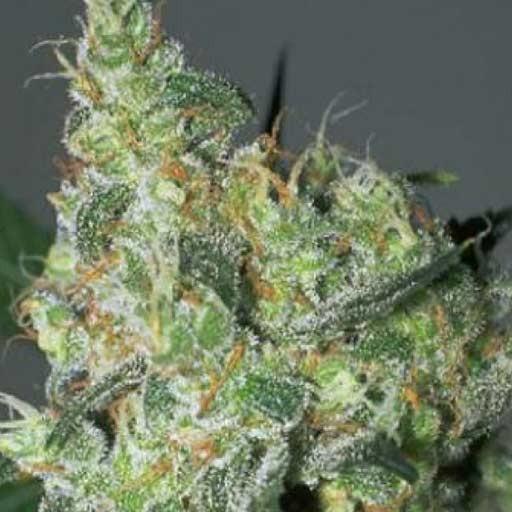 serious seeds white russian - Nueva Marihuana WHITE RUSSIAN